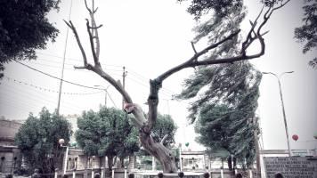 Irak, Al-Qurnah. Der abgestorbene Baum der Erkenntnis. Bild © Markus Matzel